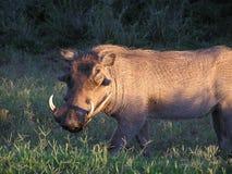 Warthog au lever de soleil Photographie stock