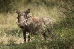 Warthog Ausblick Lizenzfreies Stockfoto