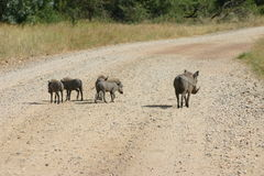 Warthog and babies. Female warthog with her baby piglets in Kruger Park, South Africa Royalty Free Stock Images