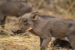Warthog babies walking around. African warthog babies walking around Royalty Free Stock Photo