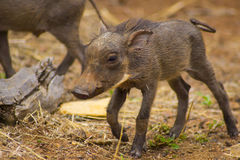 Warthog babies walking around. African warthog babies walking around Royalty Free Stock Photos