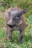 Warthog Baby Royalty Free Stock Photography