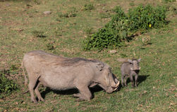 Warthog with a baby Stock Photography