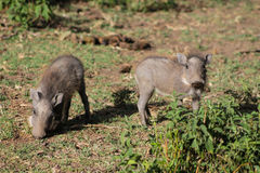Free Warthog Baby In The Wild Royalty Free Stock Image - 99283096