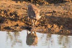 Warthog with big teeth drink from waterhole Royalty Free Stock Photos