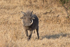 Warthog with big teeth walking among short grass Royalty Free Stock Images