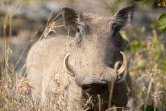 Warthog with big teeth walking among short grass. Warthog with big teeth walking among long grass Royalty Free Stock Image