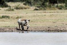 Warthog blisko wodopoju Fotografia Royalty Free