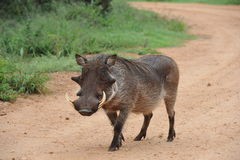 Warthog boar walking down gravel road Stock Photos