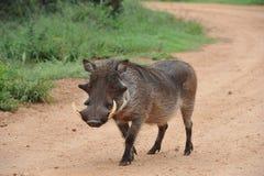 Warthog boar walking down gravel road. Warthog walking down gravel road alone Stock Photos