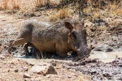 Warthog Borowinowy skąpanie fotografia stock
