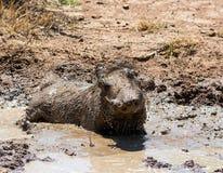 Warthog Borowinowy skąpanie zdjęcie stock