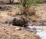 Warthog Borowinowy skąpanie zdjęcia stock