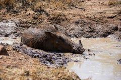 Warthog Borowinowy skąpanie fotografia royalty free
