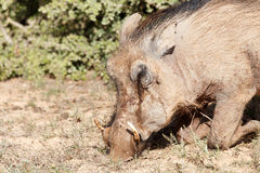 Warthog bowing down and sniffing the ground Royalty Free Stock Image