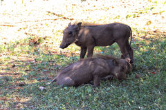 Warthog brothers Royalty Free Stock Photos
