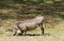 Warthog in the bush Stock Image