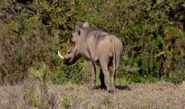 Warthog in the bush Stock Photo
