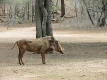 Warthog in bush. Male warthog in Swaziland Africa Stock Photo