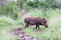 Warthog in the bush Royalty Free Stock Photo