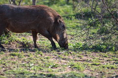 Warthog che pasce Fotografie Stock
