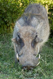 Warthog chewing Royalty Free Stock Images