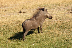 Warthog in Chobe N.P. Botswana, Africa. Warthog on Grassland in Chobe National Park, Botswana, Africa Stock Photography