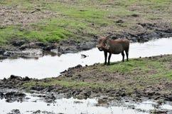 Warthog in Chobe National Park, Botswana Royalty Free Stock Photography
