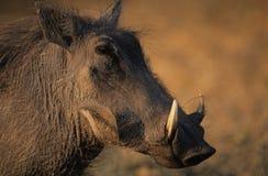 Warthog close-up Royalty Free Stock Photos