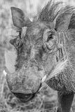 Warthog. A warthog close up in black and white Royalty Free Stock Photography