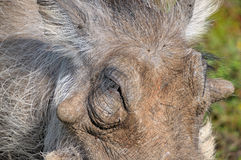 Warthog close-up Royalty Free Stock Images