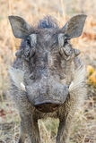 Warthog. A warthog close up in Namibia Royalty Free Stock Photos