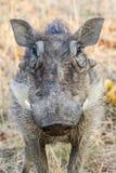 Warthog Royalty Free Stock Photos