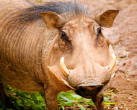 Warthog. Close up portrait of warthog Stock Images