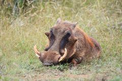 Warthog. Close-up view of a Warthog in veld stock image