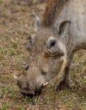 Warthog Royalty Free Stock Image
