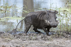 Warthog comming out of the mud Royalty Free Stock Images