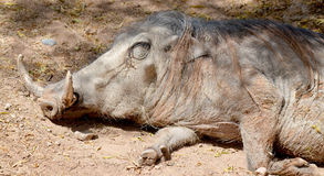 Warthog. Or Common  Phacochoerus africanus is a wild member of the pig family that lives in grassland, savanna, and woodland in Sub-Saharan Africa Royalty Free Stock Photo