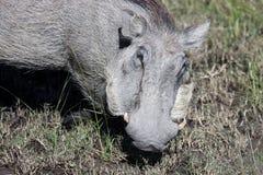 Warthog (Common Warthog) feeding. Delta Okavango Stock Images