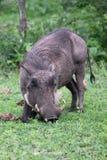Warthog (Common Warthog) feeding. Delta Okavango Royalty Free Stock Photos