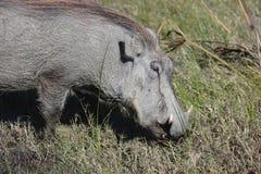 Warthog (Common Warthog) feeding. Delta Okavango, Royalty Free Stock Photo