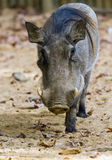 Warthog or Common Warthog, Phacochoerus africanus Royalty Free Stock Photo