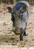 Warthog or Common Warthog, Phacochoerus africanus royalty free stock photo