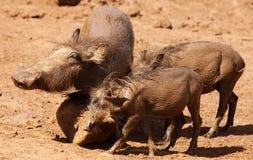 Warthog or Common Warthog, Phacochoerus africanus, all muddy Stock Images