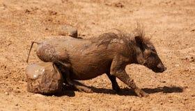 Warthog or Common Warthog, Phacochoerus africanus Royalty Free Stock Photography