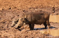 Warthog or Common Warthog, Phacochoerus africanus Stock Photos