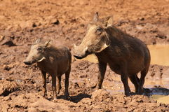 Warthog or Common Warthog, Phacochoerus africanus Stock Images