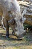 Warthog or Common Warthog, Phacochoerus africanus Royalty Free Stock Image