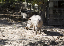 Warthog commun Photographie stock libre de droits