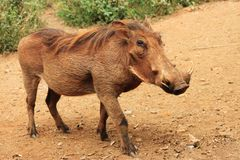 Warthog commun Photos libres de droits